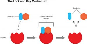 lock and key enzyme mechanism | LCR Health